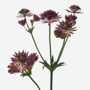 ASTRANTIA ROSE