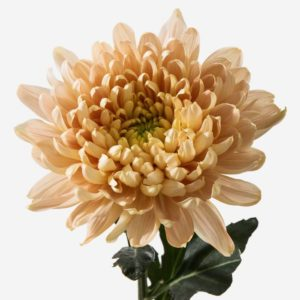 CHRYSANTHEME ORANGE
