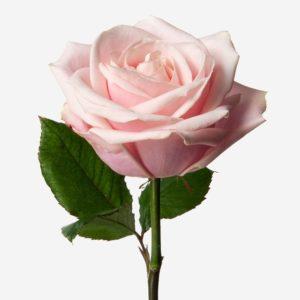 ROSE SWEET